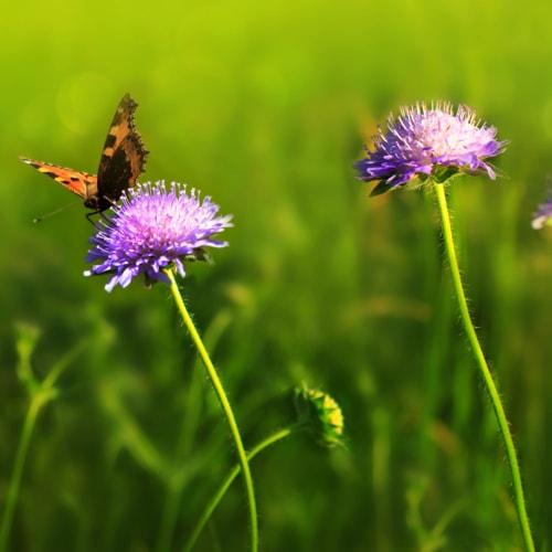 Zwei Blumen auf einer grünen Wiese. Auf der linken sitzt ein Schmitterling